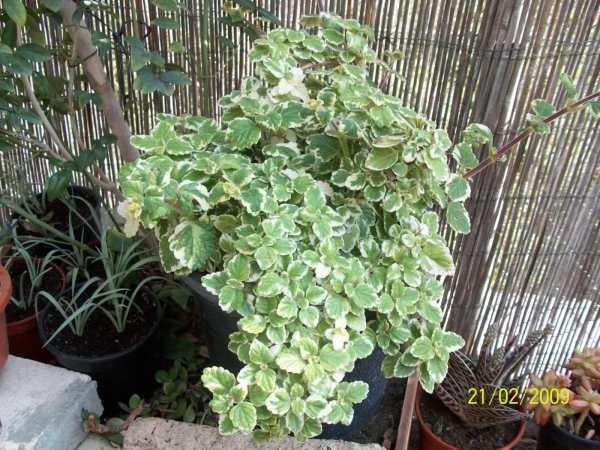 Plantas caseras de buena suerte la planta de la envidia - Como quitar la mala suerte de mi casa ...