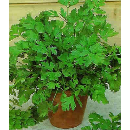 Plantas caseras de buena suerte la planta de la envidia - Cosas que atraen buena suerte ...