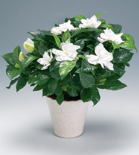 gardenia-jasminoides
