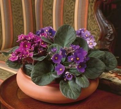 violetas-africanas