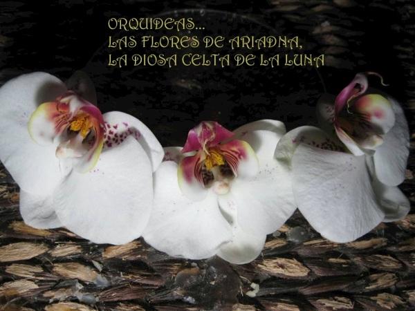 Las flores blancas son las que representan mejor ala Diosa Ariadna, en especial las orquideas