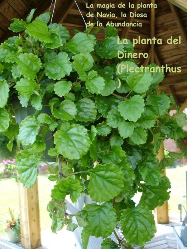 4 Plectranthus australis 02
